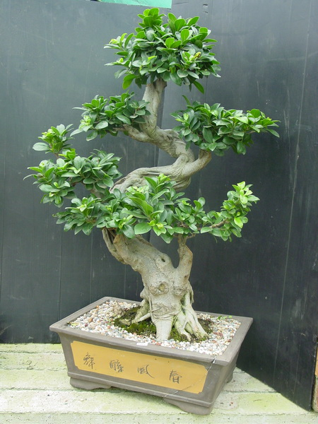 tips for a thriving ficus ginseng bonsai ginseng. Black Bedroom Furniture Sets. Home Design Ideas
