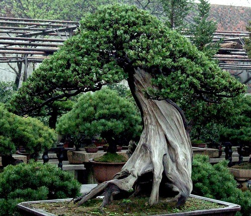 oldest bonsai
