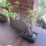 My Grandfather's Bonsai – But…they Aren't Bonsai Ginseng