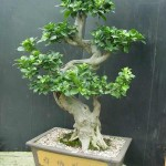 Tips For A Thriving Ficus Ginseng