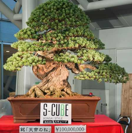 300 year old bonsai investment