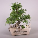 Bonsai Ginseng – What is it?