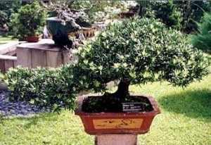 bonsai-podocarpus-300x206