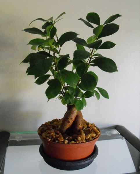 What To Do When You First Purchase Bonsai Ginseng