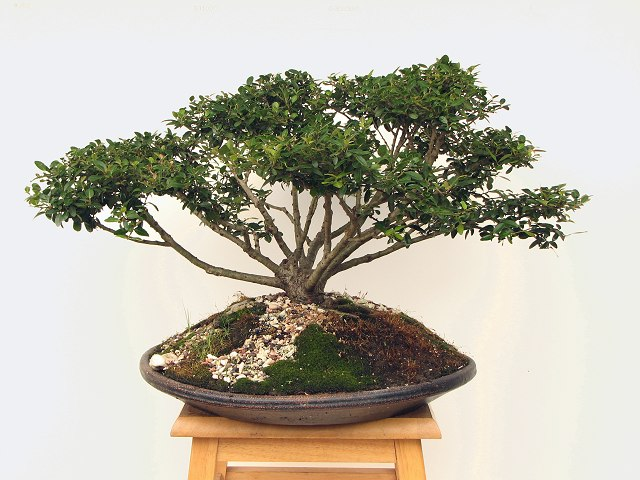 ilex bonsai bonsai ginseng. Black Bedroom Furniture Sets. Home Design Ideas