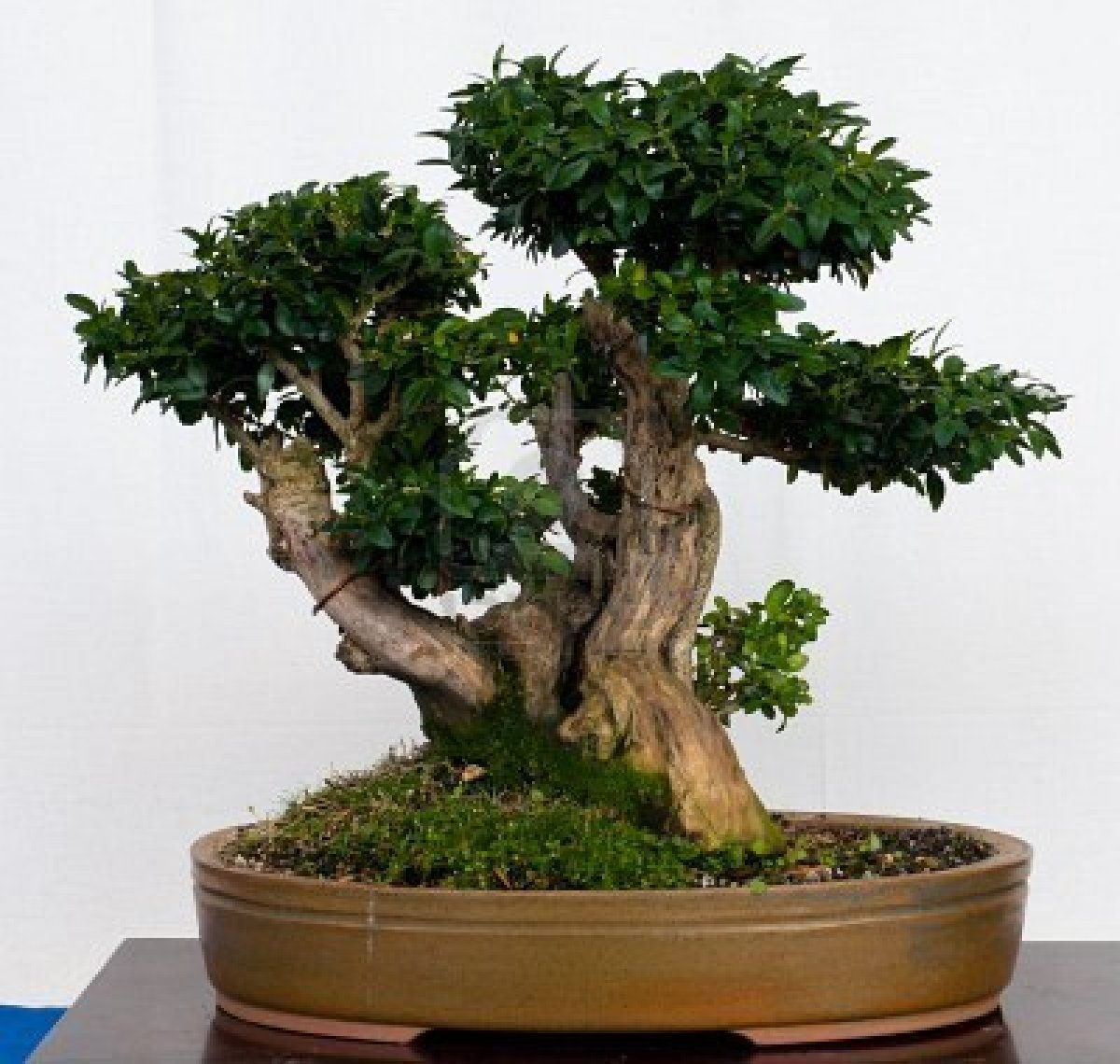 how to create and care for a valuable bonsai ginseng tree. Black Bedroom Furniture Sets. Home Design Ideas
