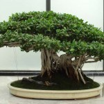 Forms For Ficus Ginseng