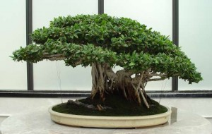 Ficus Ginseng Multiple Trunk Form