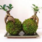 bonsai ficus pair kokedama