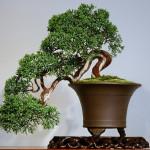 Sargent Juniper on bonsai table