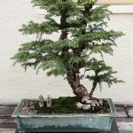 Taiwania bonsai with figurines