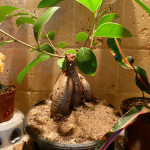 Ficus Ginseng Bonsai Losing Leaves