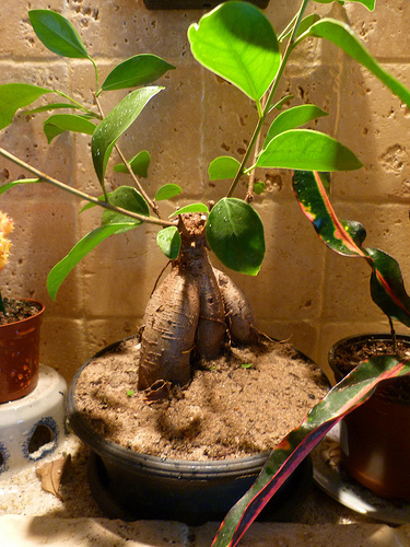 Ficus Ginseng Bonsai Losing Leaves Bonsai Ginseng