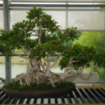 Bonsai Ginseng – A Symbol for the Asian Culture