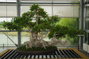 Bonsai Ginseng A Symbol For The Asian Culture Bonsai Ginseng