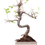 Ficus Ginseng Bonsai Losing Leaves Bonsai Ginseng