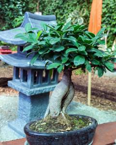 bonsia tree in a ceramic pot.